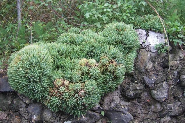 Aloe brevifolia Dscf0534