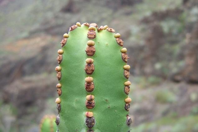 Euphorbia canariensis - euphorbe des Canaries Dscf0539