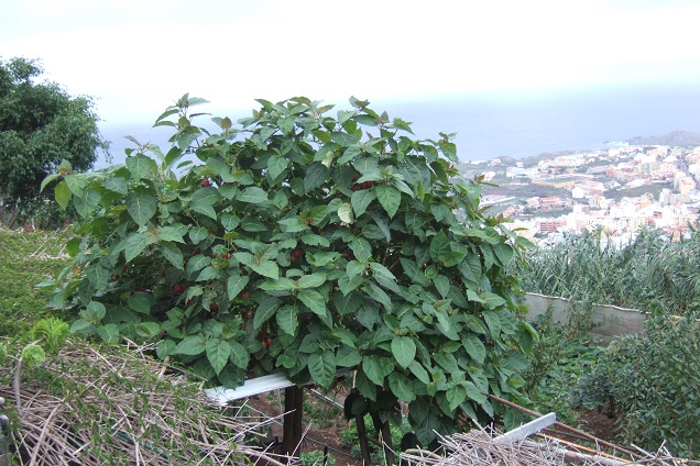 Solanum betaceum (= Cyphomandra betacea) - tomate en arbre Dscf0545