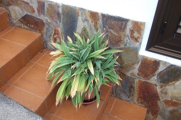 Arthropodium cirrhatum Dscf0551