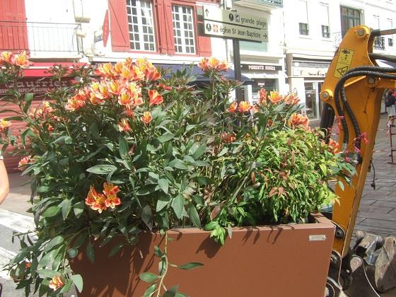 Alstroemeria ' Indian Summer' Dscf0564