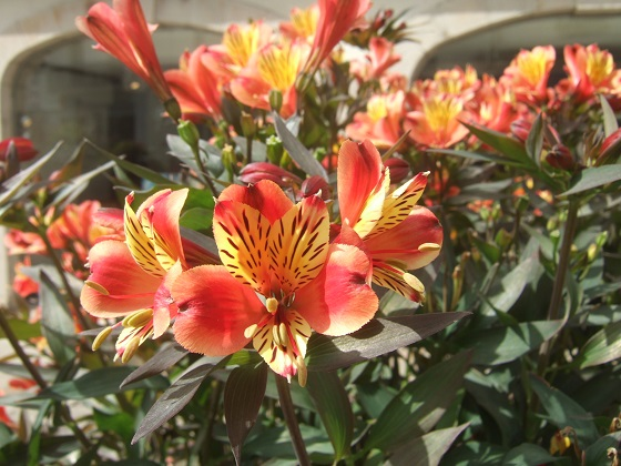 Alstroemeria ' Indian Summer' Dscf0565