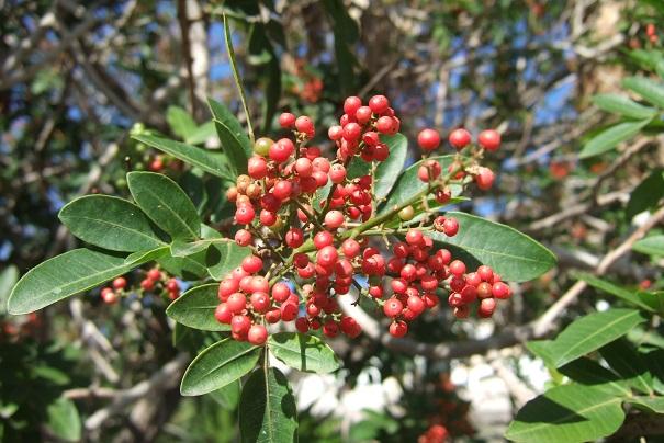 Schinus terebinthifolia - arbre aux baies roses Dscf0612