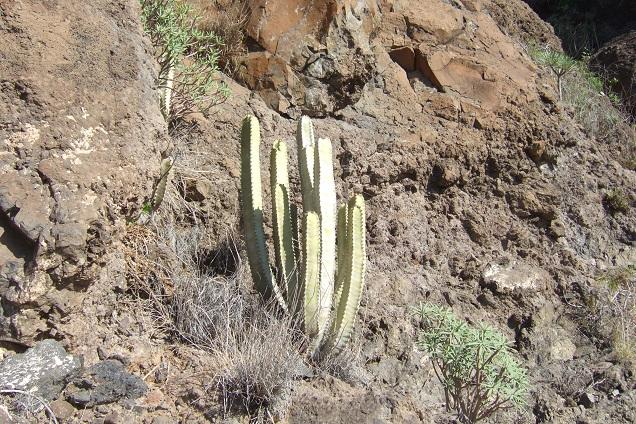 Euphorbia canariensis - euphorbe des Canaries Dscf0617