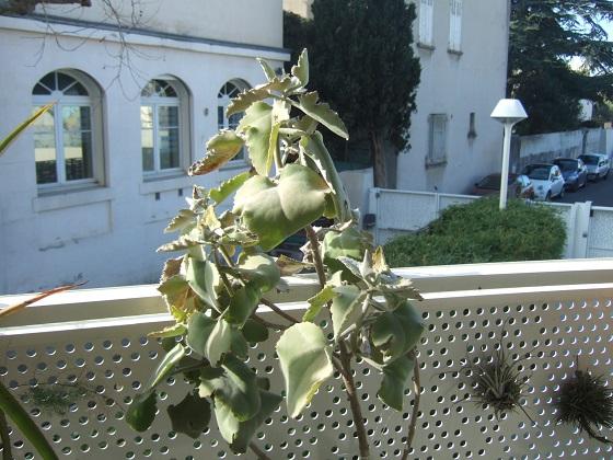Kalanchoe 'Oak Leaf' - Page 2 Dscf0642