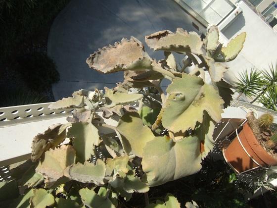 Kalanchoe 'Oak Leaf' - Page 2 Dscf0643