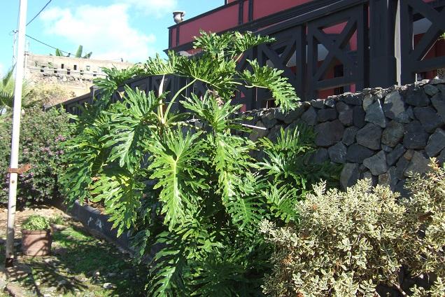 Philodendron bipinnatifidum - selloum - Page 3 Dscf0726