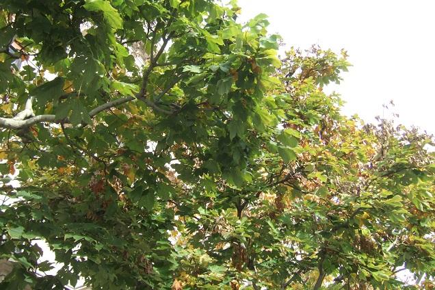 Firmiana simplex - firmiana à feuilles de platane Dscf0727