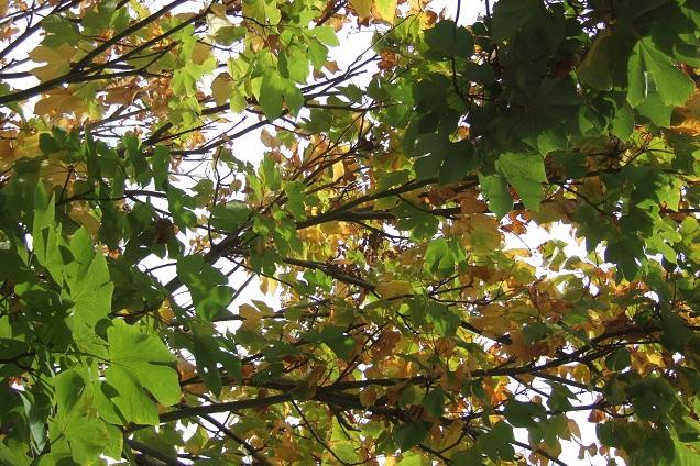 Firmiana simplex - firmiana à feuilles de platane Dscf0728