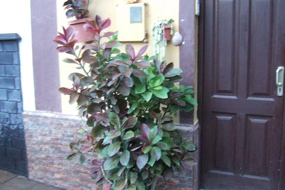 Euphorbia umbellata (= Synadenium umbellatum) - Page 2 Dscf0733