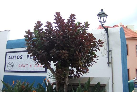 Euphorbia umbellata (= Synadenium umbellatum) - Page 2 Dscf0734