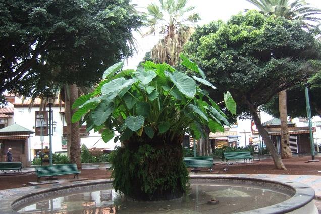Colocasia esculenta - taro - Page 11 Dscf0736