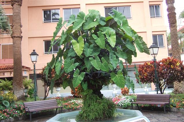 Colocasia esculenta - taro - Page 11 Dscf0737