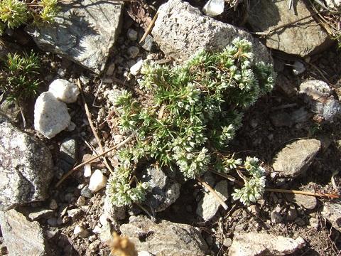 Scleranthus perennis - scléranthe vivace Dscf0741