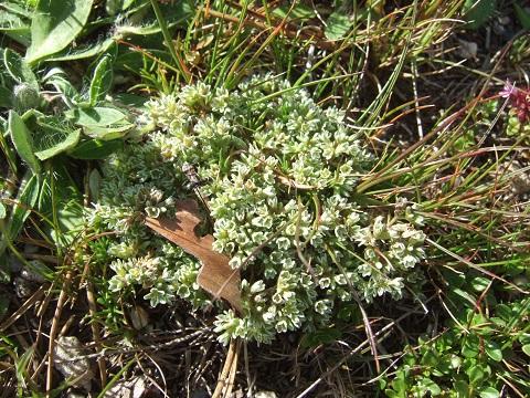 Scleranthus perennis - scléranthe vivace Dscf0742