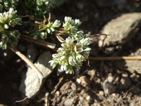 Scleranthus perennis - scléranthe vivace Dscf0743