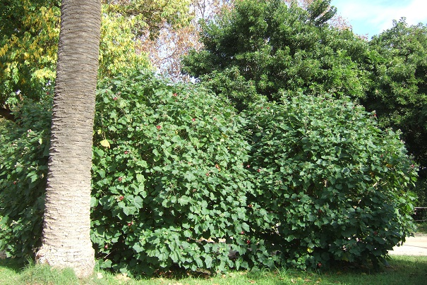 Phymosia umbellata Dscf0810