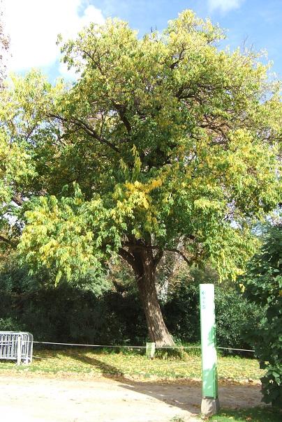 Maclura pomifera - oranger des Osages - Page 3 Dscf0813