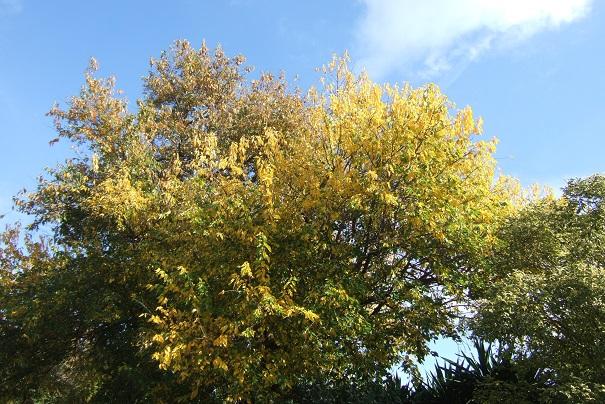 Maclura pomifera - oranger des Osages - Page 3 Dscf0815