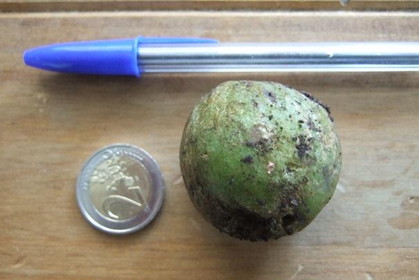Crinum moorei - [identification] Dscf0821