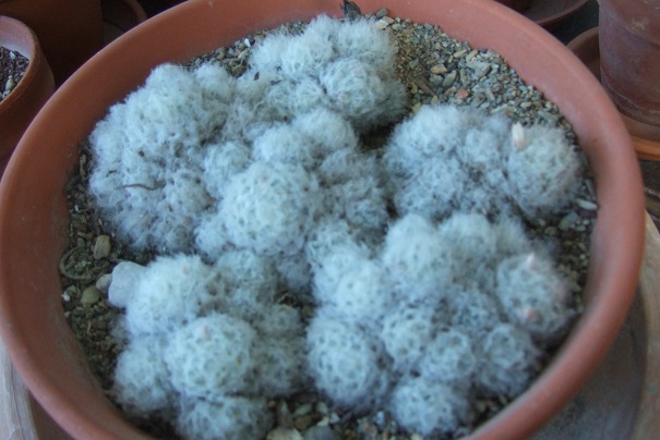 Mammillaria plumosa Dscf0826