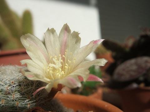 Cactus - floraisons 2020 - Page 3 Dscf0857