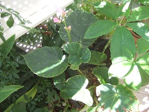 Begonia chitoensis Dscf0858
