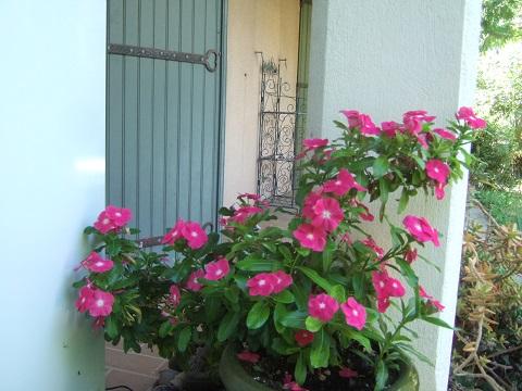 Catharanthus roseus - pervenche de Madagascar Dscf0881
