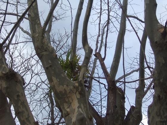 Trachycarpus fortunei - Page 12 Dscf0893