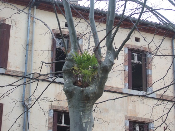 Trachycarpus fortunei - Page 12 Dscf0895