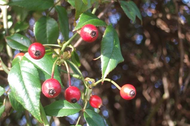 Rosa sempervirens - rosier toujours vert Dscf0913
