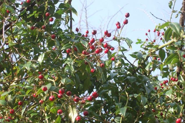 Rosa sempervirens - rosier toujours vert Dscf0914