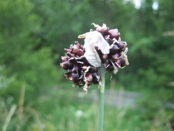 Allium vineale - ail des vignes Dscf0951