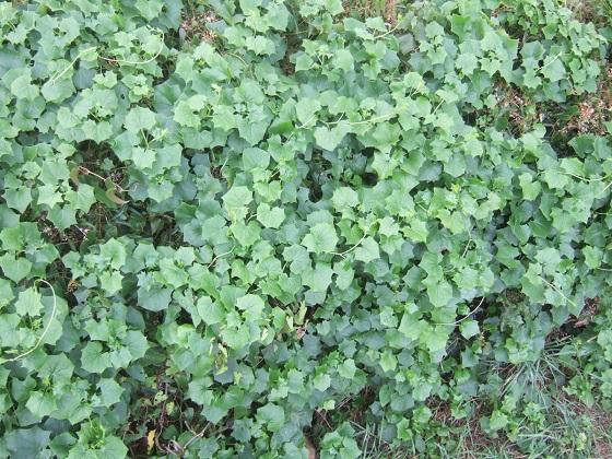Delairea odorata - ( = Senecio mikanioides) Dscf0954