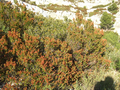 Erica multiflora - bruyère à fleurs nombreuses - Page 2 Dscf1011