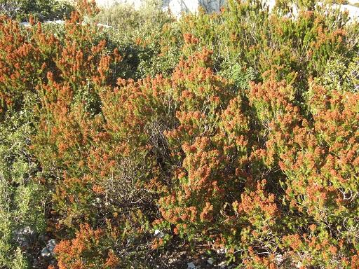 Erica multiflora - bruyère à fleurs nombreuses - Page 2 Dscf1012