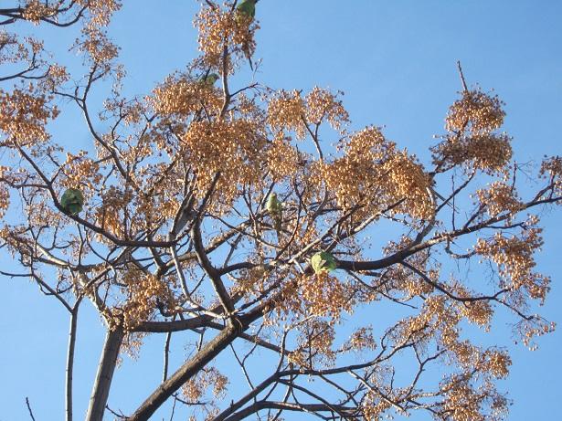 Perruche à collier - Psittacula krameri Dscf1018