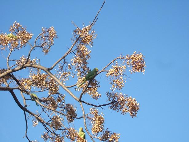 Perruche à collier - Psittacula krameri Dscf1019