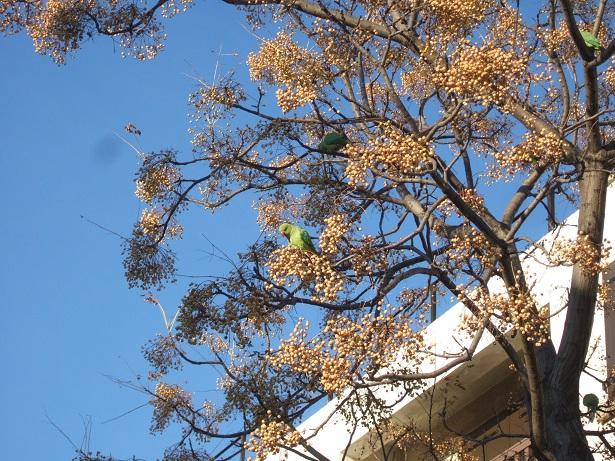 Perruche à collier - Psittacula krameri Dscf1020