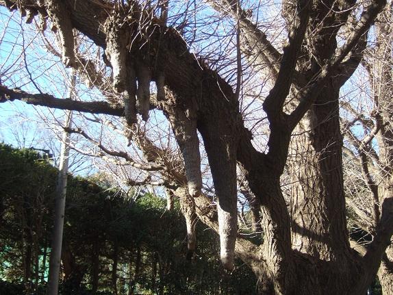 Ginkgo biloba - arbre aux quarante écus - Page 5 Dscf1033