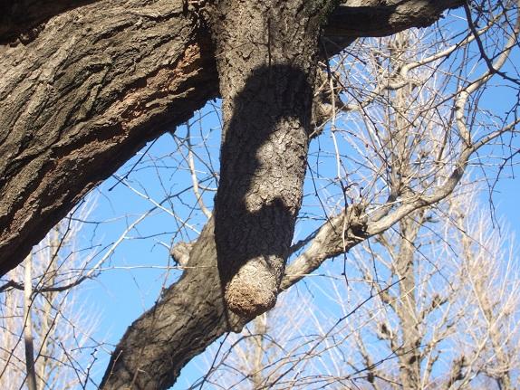 Ginkgo biloba - arbre aux quarante écus - Page 5 Dscf1035