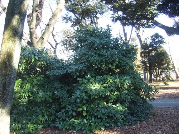Aucuba japonica - aucuba du Japon - Page 2 Dscf1036