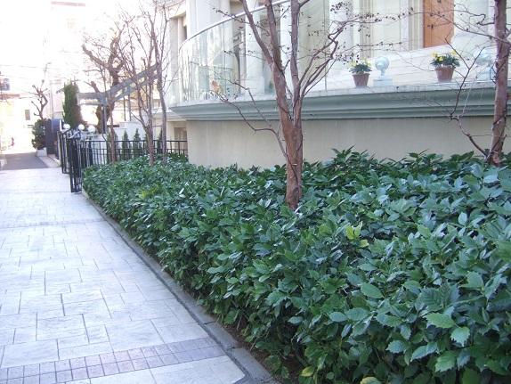 Aucuba japonica - aucuba du Japon - Page 2 Dscf1037