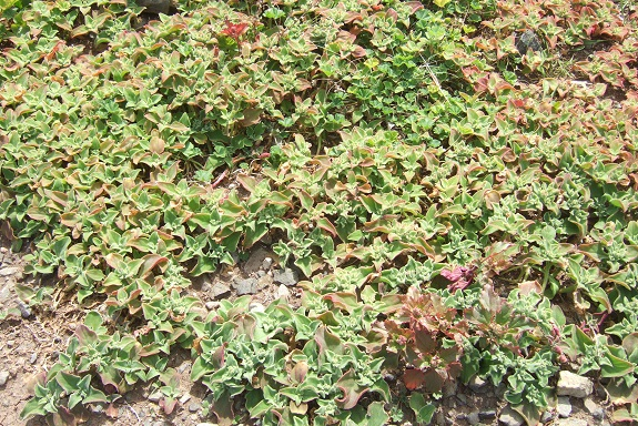 Mesembryanthemum crystallinum - ficoïde glaciale Dscf1047