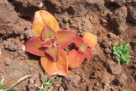 Mesembryanthemum crystallinum - ficoïde glaciale Dscf1049