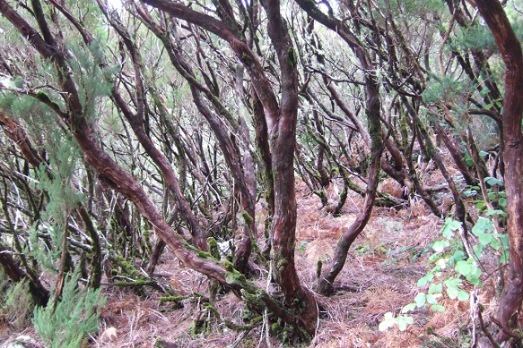 Erica arborea Dscf1052