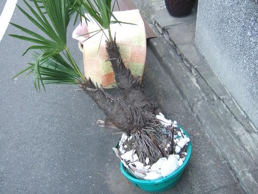 Trachycarpus fortunei - Page 9 Dscf1135