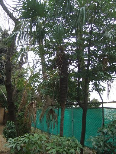 Trachycarpus fortunei - Page 9 Dscf1137