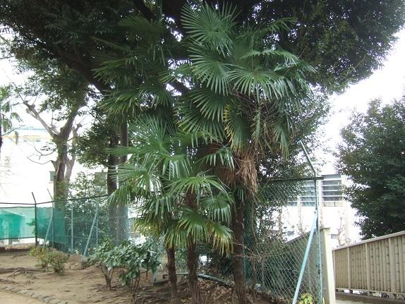 Trachycarpus fortunei - Page 9 Dscf1138