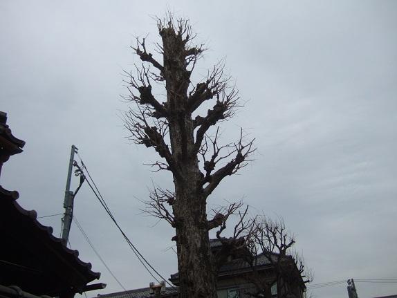 Ginkgo biloba - arbre aux quarante écus - Page 5 Dscf1139